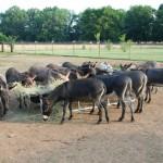 Cobra Miniature Donkeys Arrive from M5 Ranch, Dallas Texas