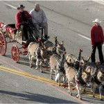 Rose Parade Miniature Donkey Team