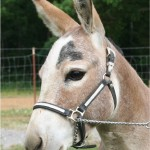 Winners at Pacific Northwest Mini Donkey Show and Wilson County Fair